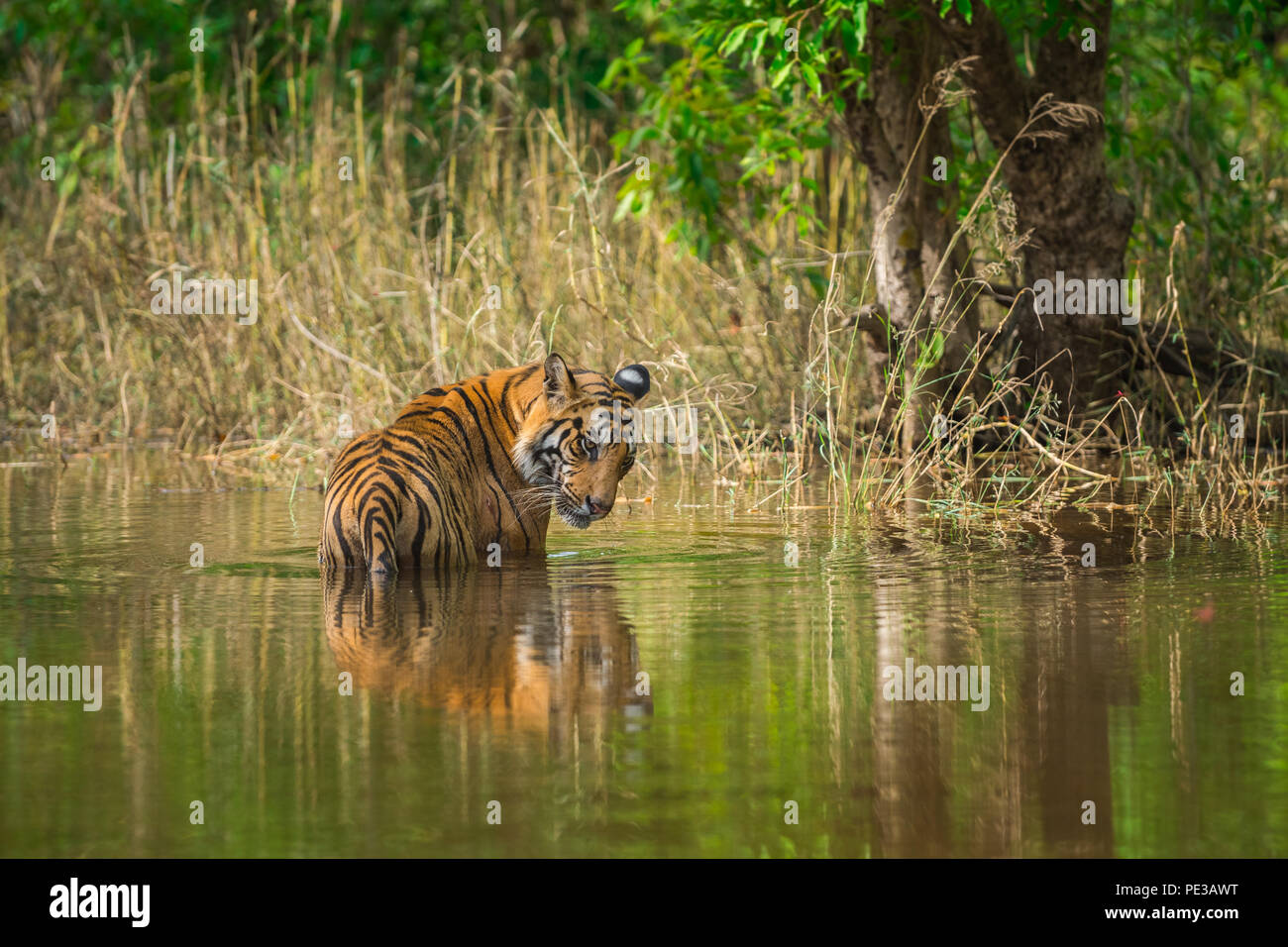A male tiger in beautiful backdrop and with reflection at bandhavgarh national park - Stock Image