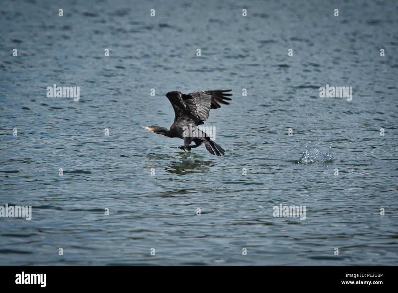 Wildlife Photography on Rhein River - Stock Image