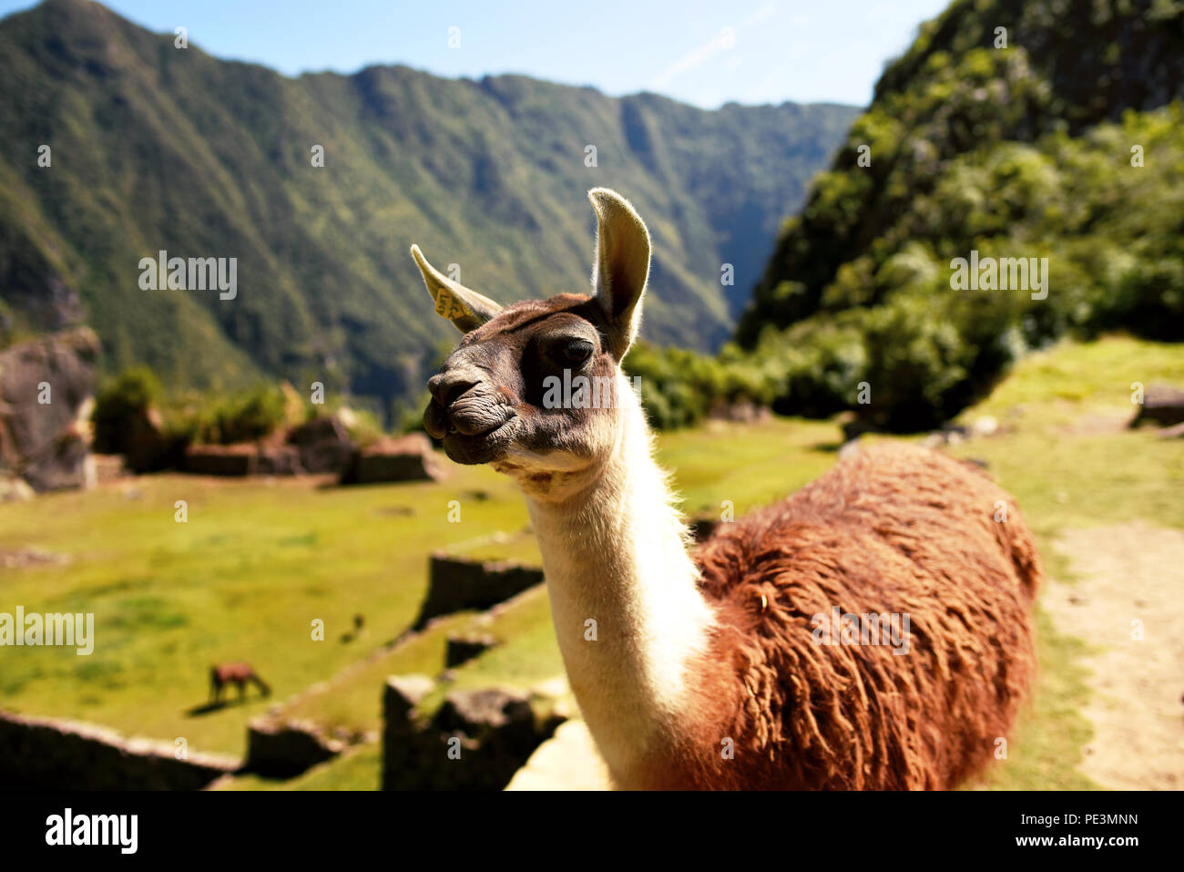 Llama looking sideways at Machu Picchu. Llamas can be used as guard animals for livestock like alpacas and sheep. Cuzco region, Peru. Jul 2018 - Stock Image