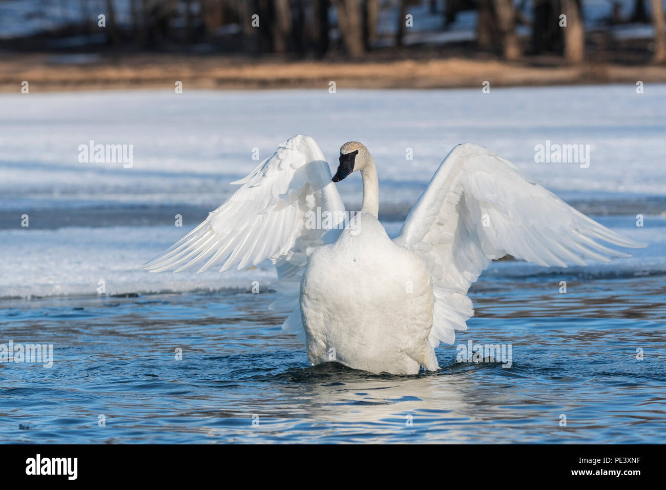 Trumpeter swans   (Cygnus buccinator), St. Croix river, Winter, WI, MN, USA, by Dominique Braud/Dembinsky Photo Assoc - Stock Image
