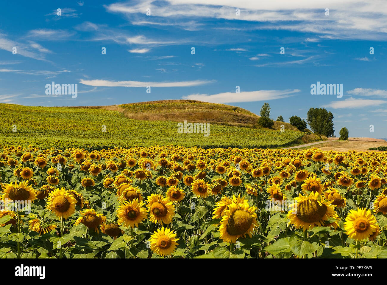 sunflowers in august Stock Photo