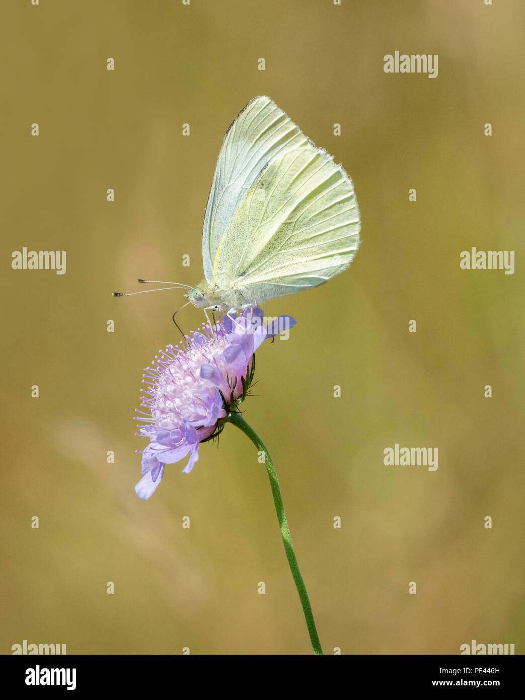 Female large white butterfly Pieris brassicae on field scabious flower with forewing closed to hide black wing marking - Stock Image