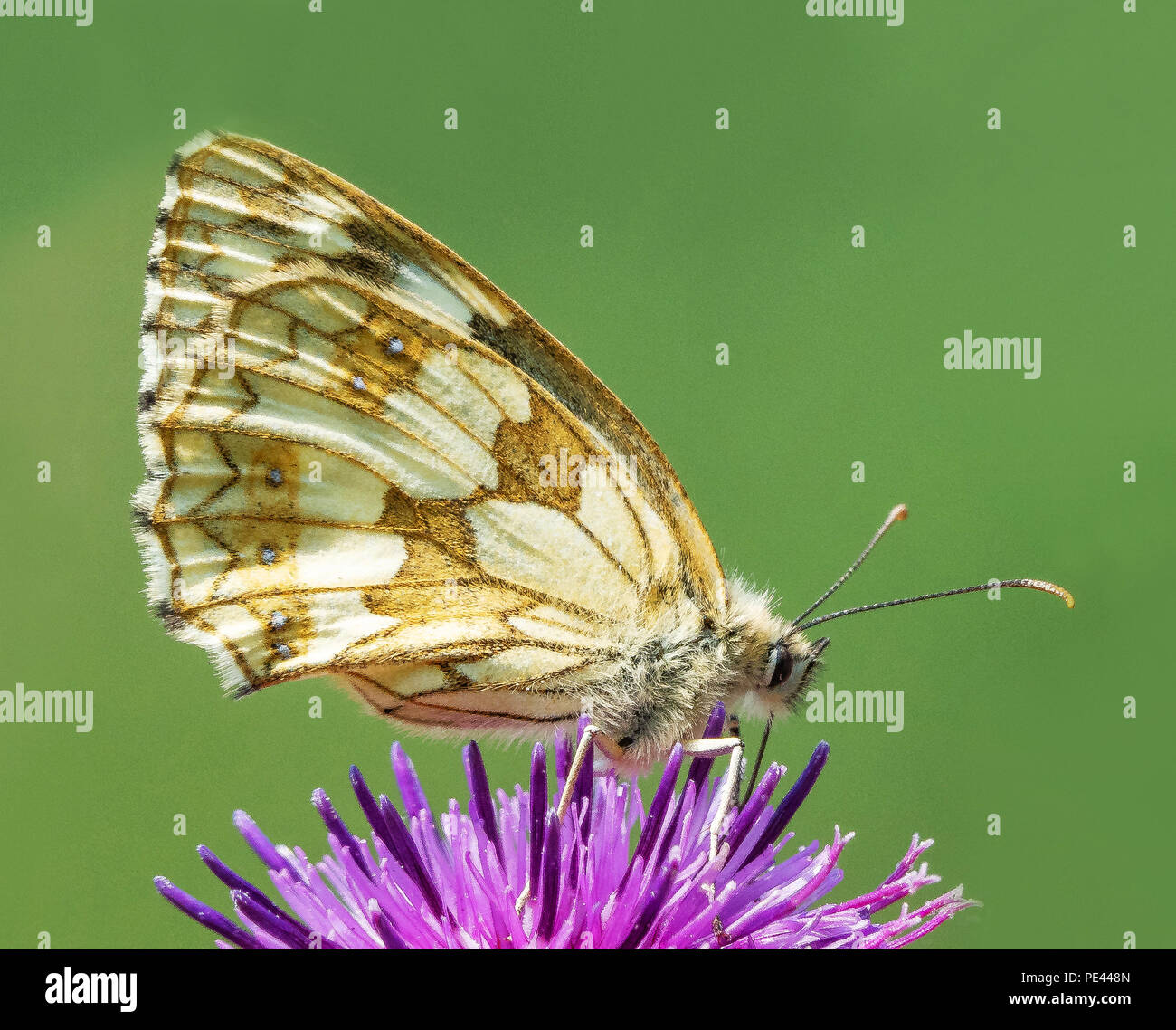 Marbled white butterfly Melanargia galathea feeding on knapweed with wings closed  at Rough Bank Butterfly Conservation reserve in Gloucestershire - Stock Image