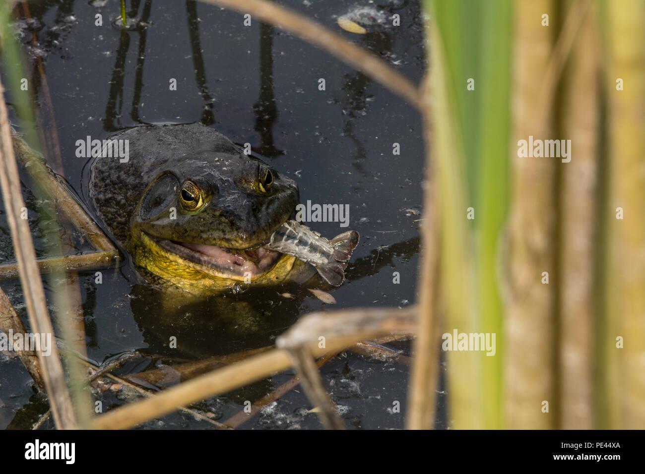 American Bullfrog (Lithobates catesbeianus) from Socorro County, New Mexico, USA. Stock Photo