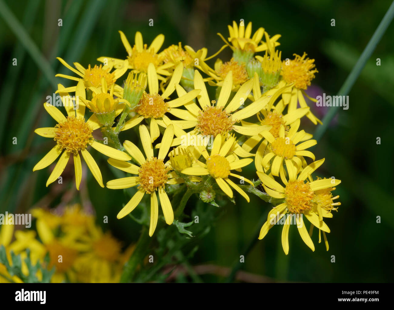 Composite Tall Weed Yellow Stock Photos Composite Tall Weed Yellow