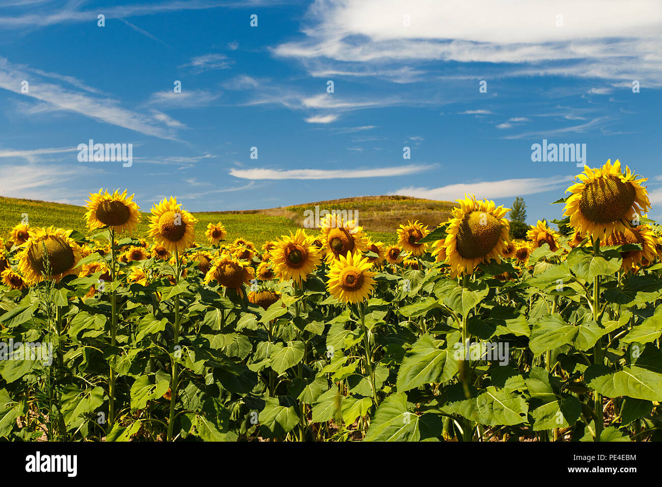 field of sunflowers in august Stock Photo