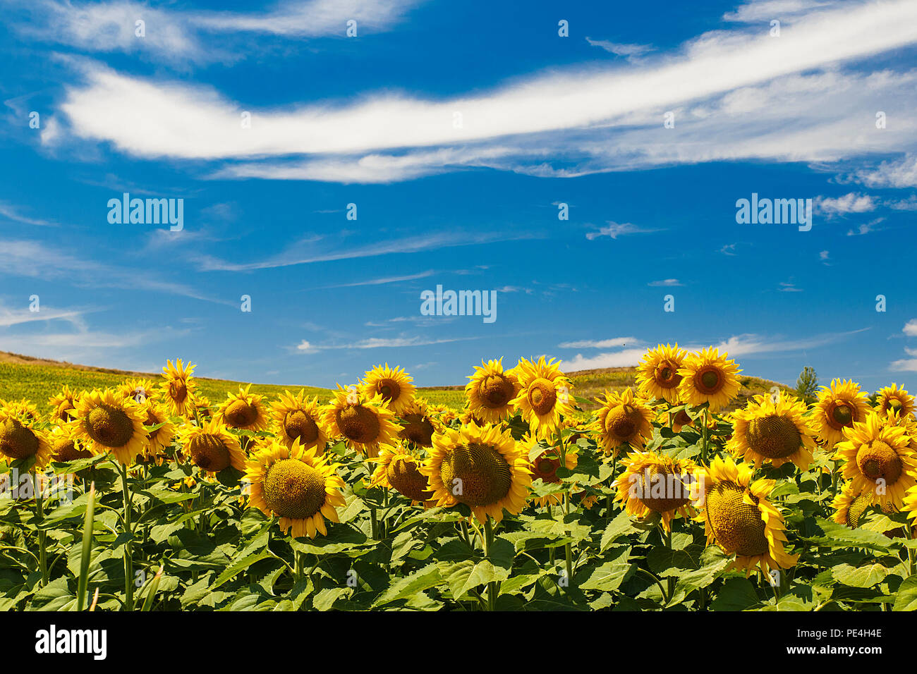 fields of sunflowers in summer, spain Stock Photo