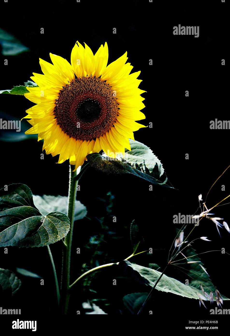 sunflower in the dark Stock Photo