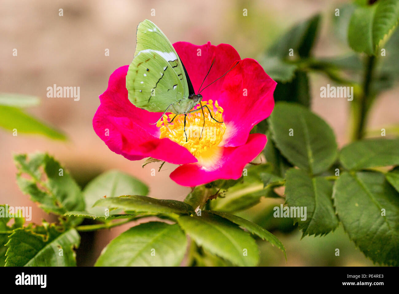 Bluehende Hundsrose mit Schmetterling Stock Photo