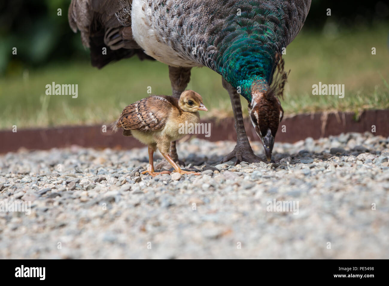Young Peachcick Walking Alongside Mother Peahen Stock Photo