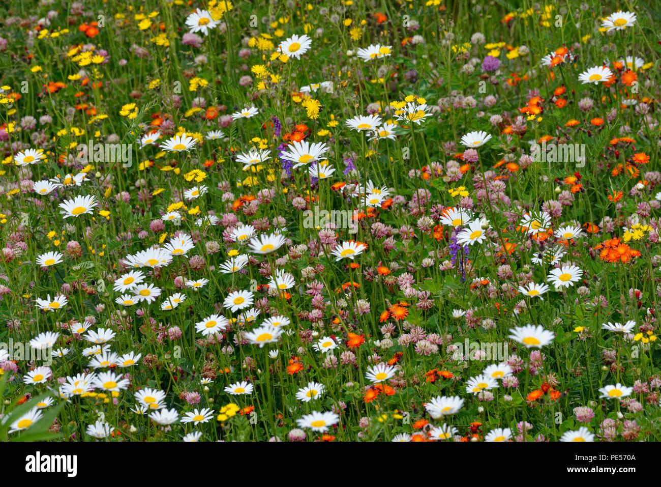 Roadside daisies and yellow hawkweed, Greater Sudbury, Ontario, Canada - Stock Image