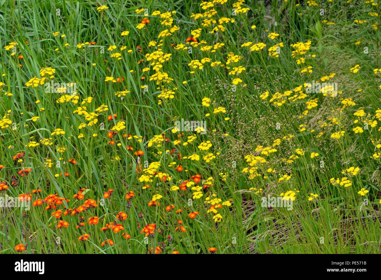 Roadside wildflowers featuring yellow hawkweed, Greater Sudbury, Ontario, Canada - Stock Image