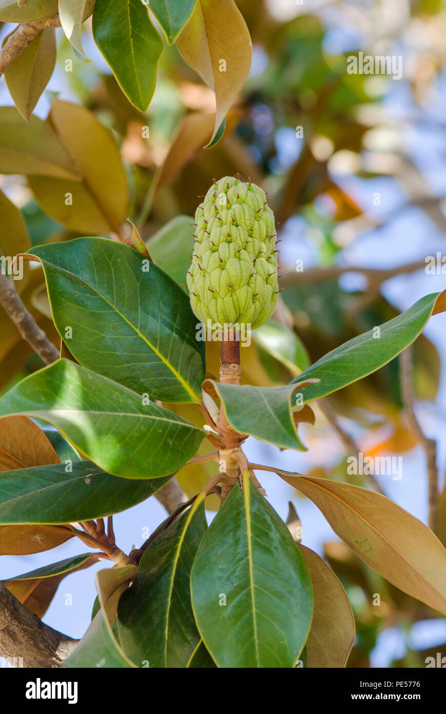 Fruit Seed Pods Of A Magnolia Grandiflora Tree Southern Magnolia