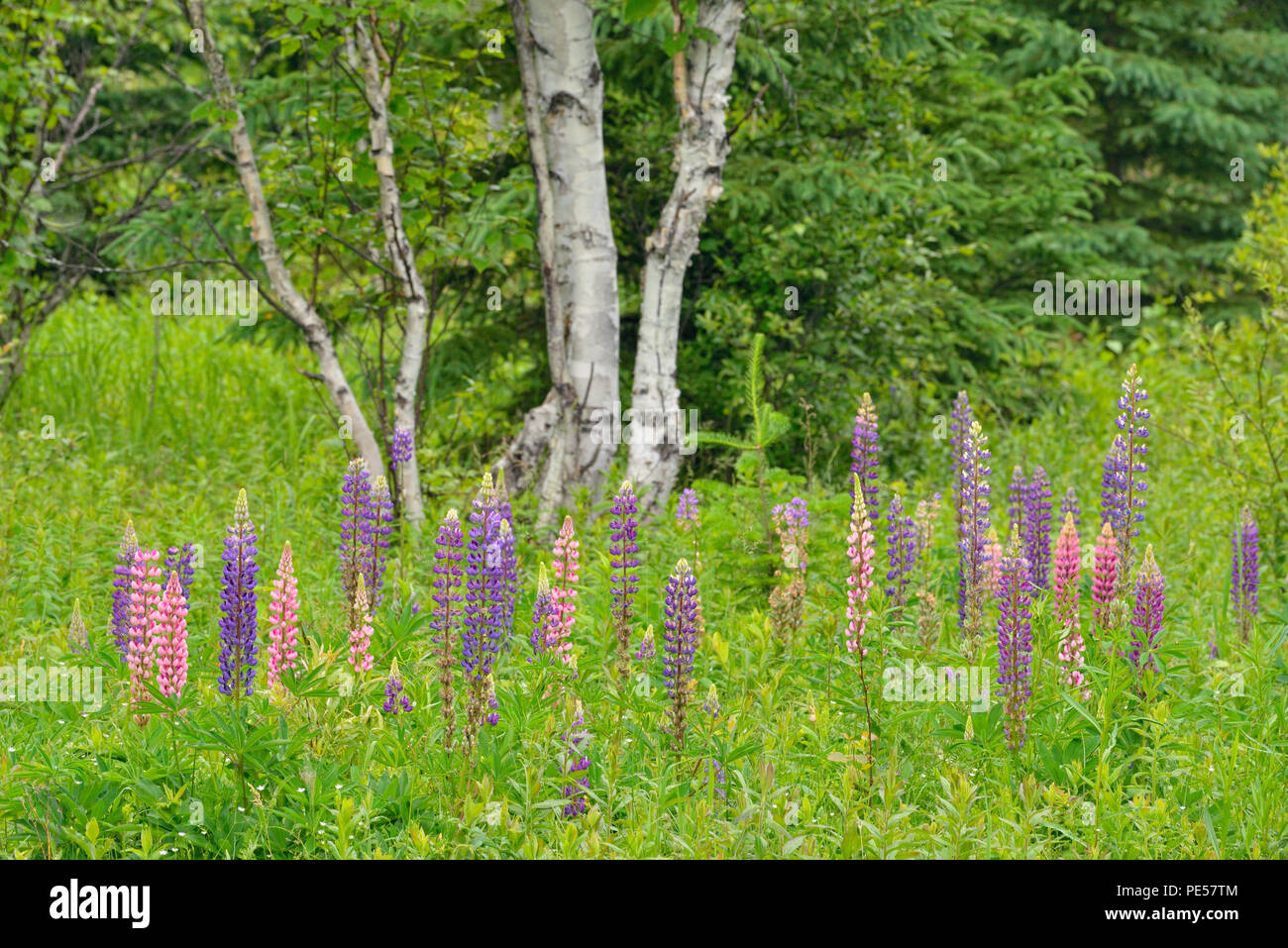 Flowering lupines in a meadow, Greater Sudbury, Ontario, Canada - Stock Image