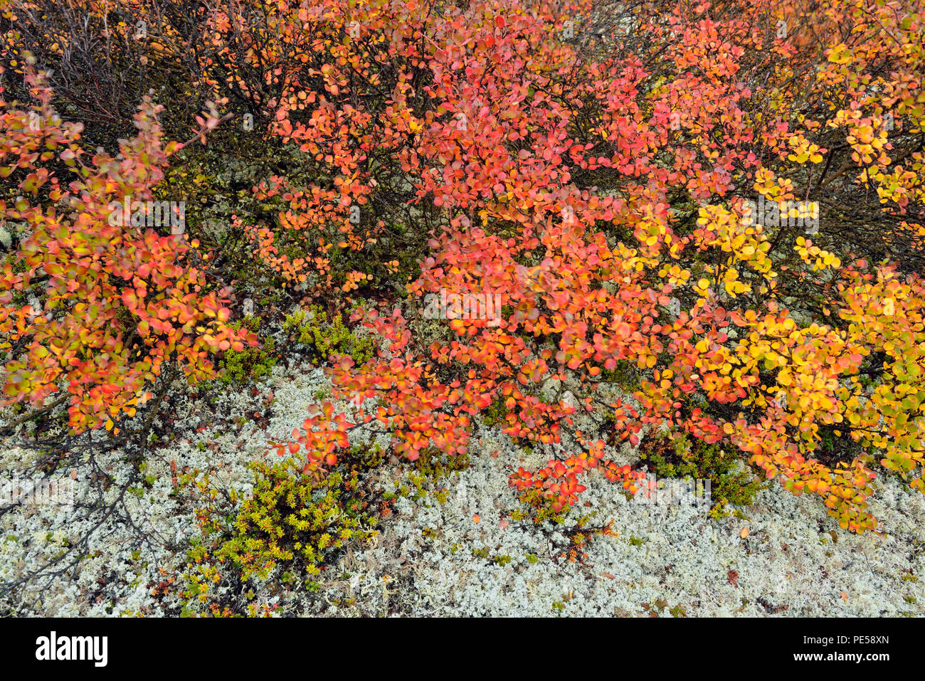 Dwarf birch (Betula nana) Autumn foliage, Arctic Haven Lodge, Nunavut Territory, Canada - Stock Image
