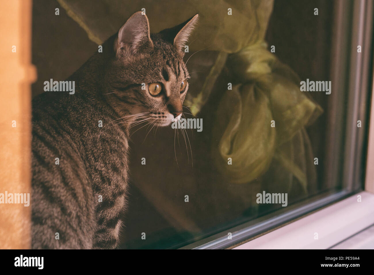 Beautiful cat looking through window.Image is intentionally toned. - Stock Image