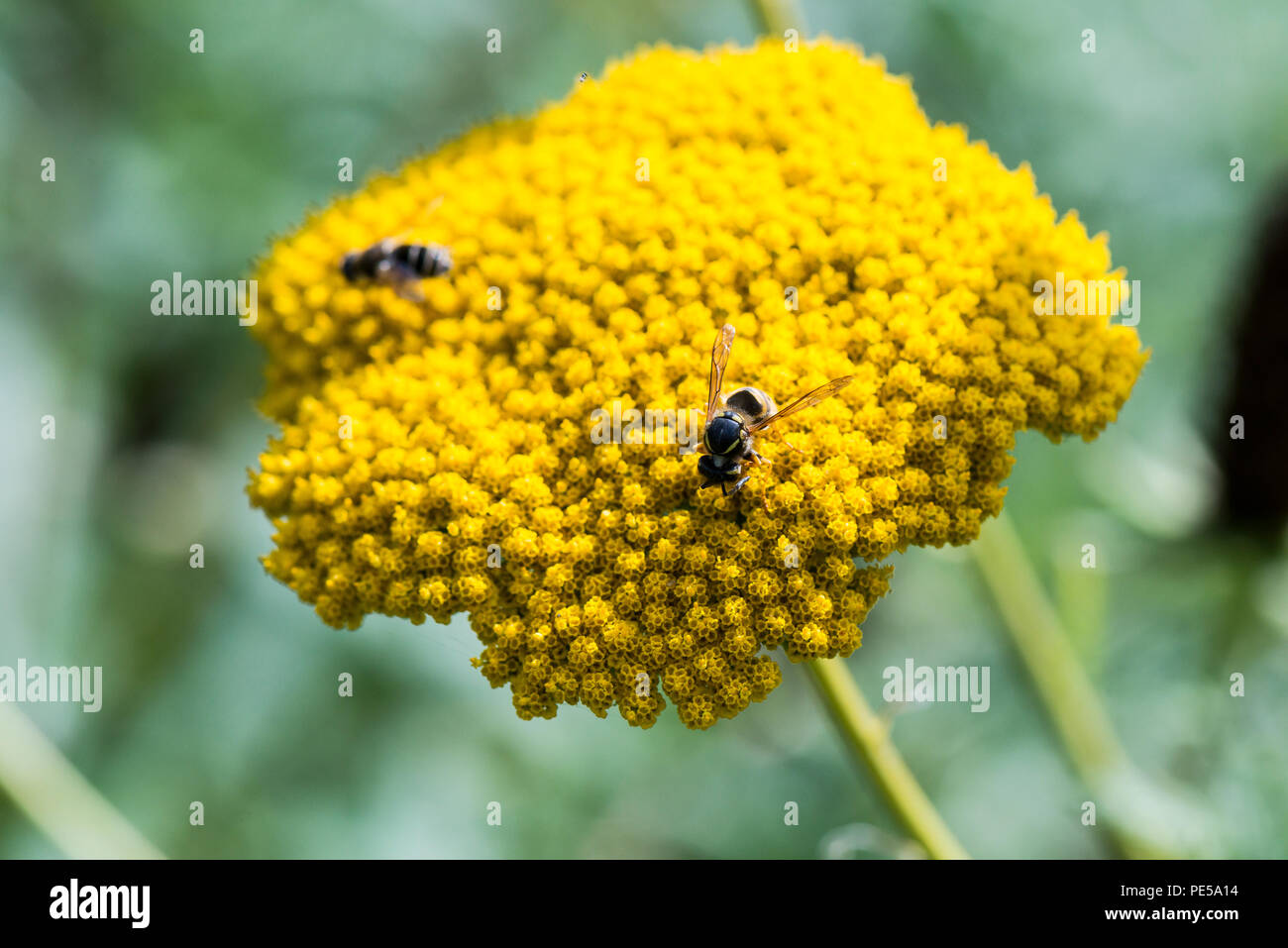 A wasp  flower head of a yarrow 'Cloth of Gold' (achillea filipendulina 'cloth of gold') - Stock Image
