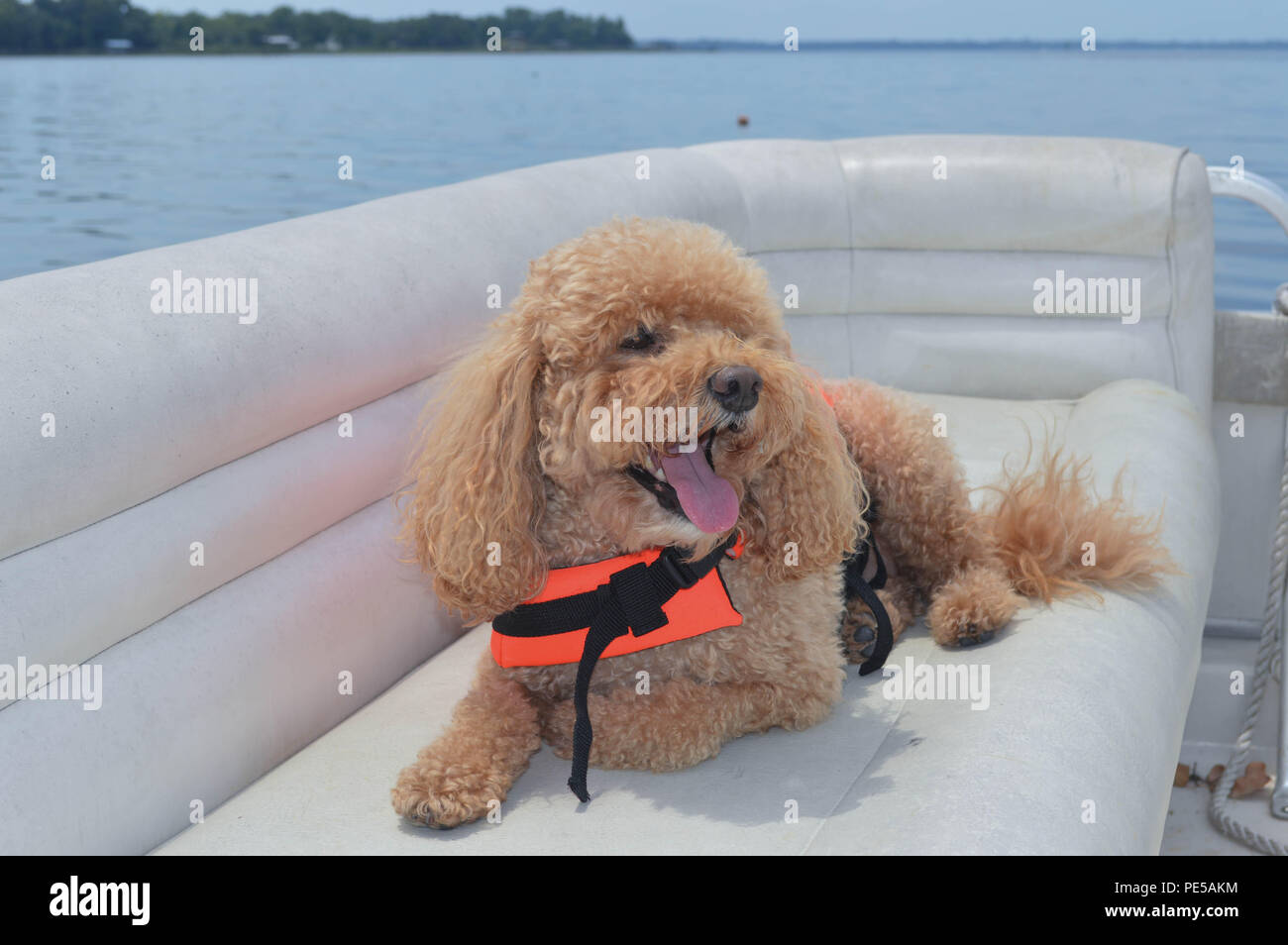 Happy Cockapoo Relaxing On Boat  Wears Life Vest And Smiles For Camera - Stock Image