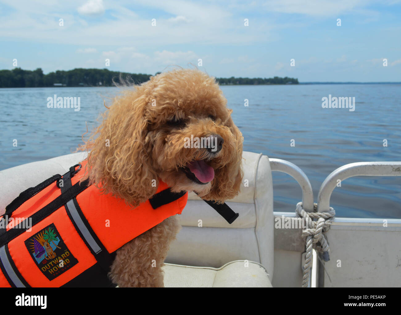 Tobey, the Cockapoo, Loves Having Fun On The Pontoon Boat Sporting His Outward Hound Life Vest - Stock Image