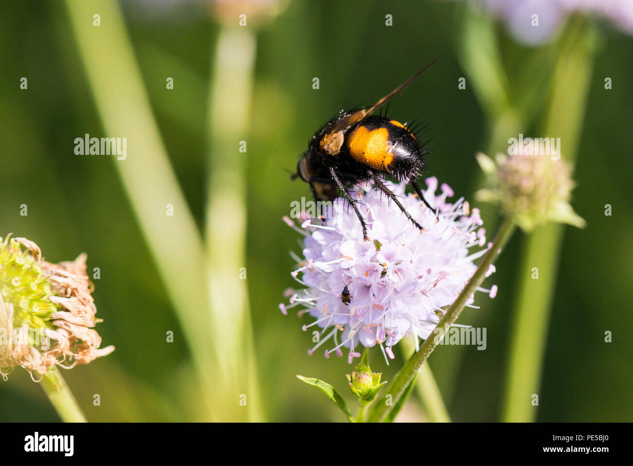 A Nowickia ferox fly on the flower head of a southern succisella (Succisella inflexa) - Stock Image