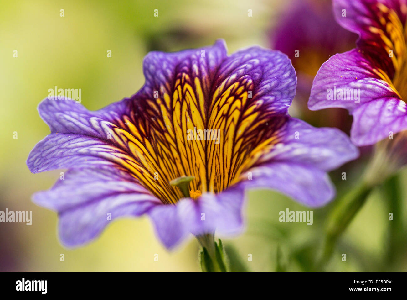 A close up of the flower of a purple painted tongue (Salpiglossis sinuata) Stock Photo
