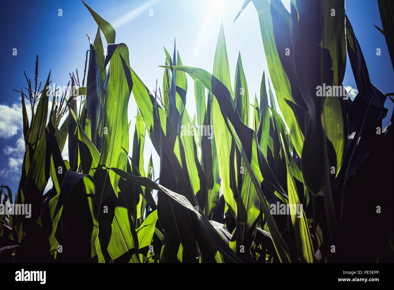 Sunbeam back light the corn maze on a glorious late summer afternoon. - Stock Image