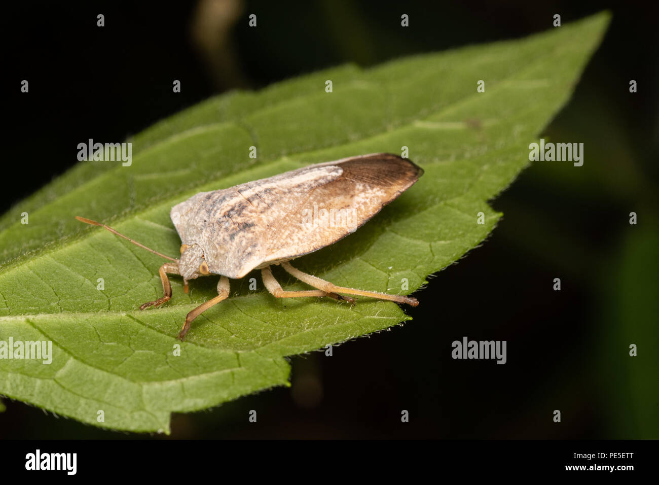 Tessaratomids resemble large stink bugs (family Pentatomidae) and are sometimes quite colorful. - Stock Image