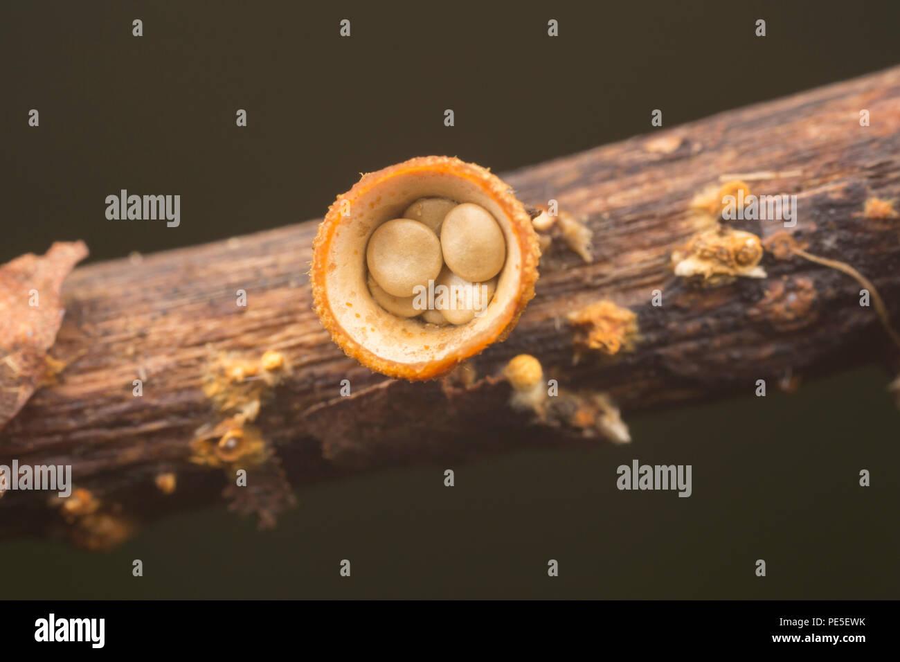 White Bird's Nest Fungus (Crucibulum laeve) fruiting bodies with egg-shaped peridioles inside the 'nest'. - Stock Image