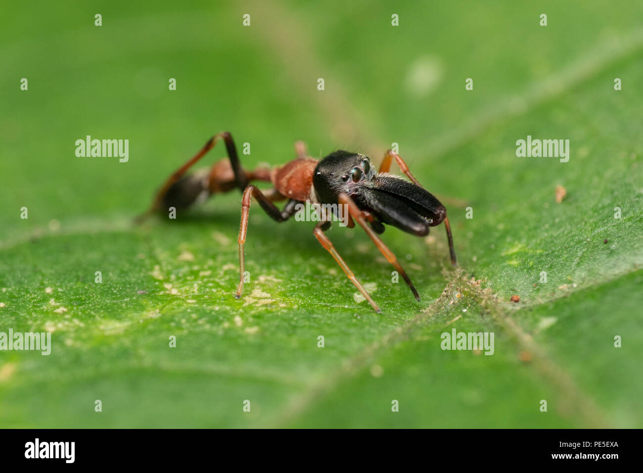 Male ant-mimicking jumping spider (Myrmarachne sp.) Myrmarachne is a genus of jumping spiders which imitate an ant by waving their front legs - Stock Image