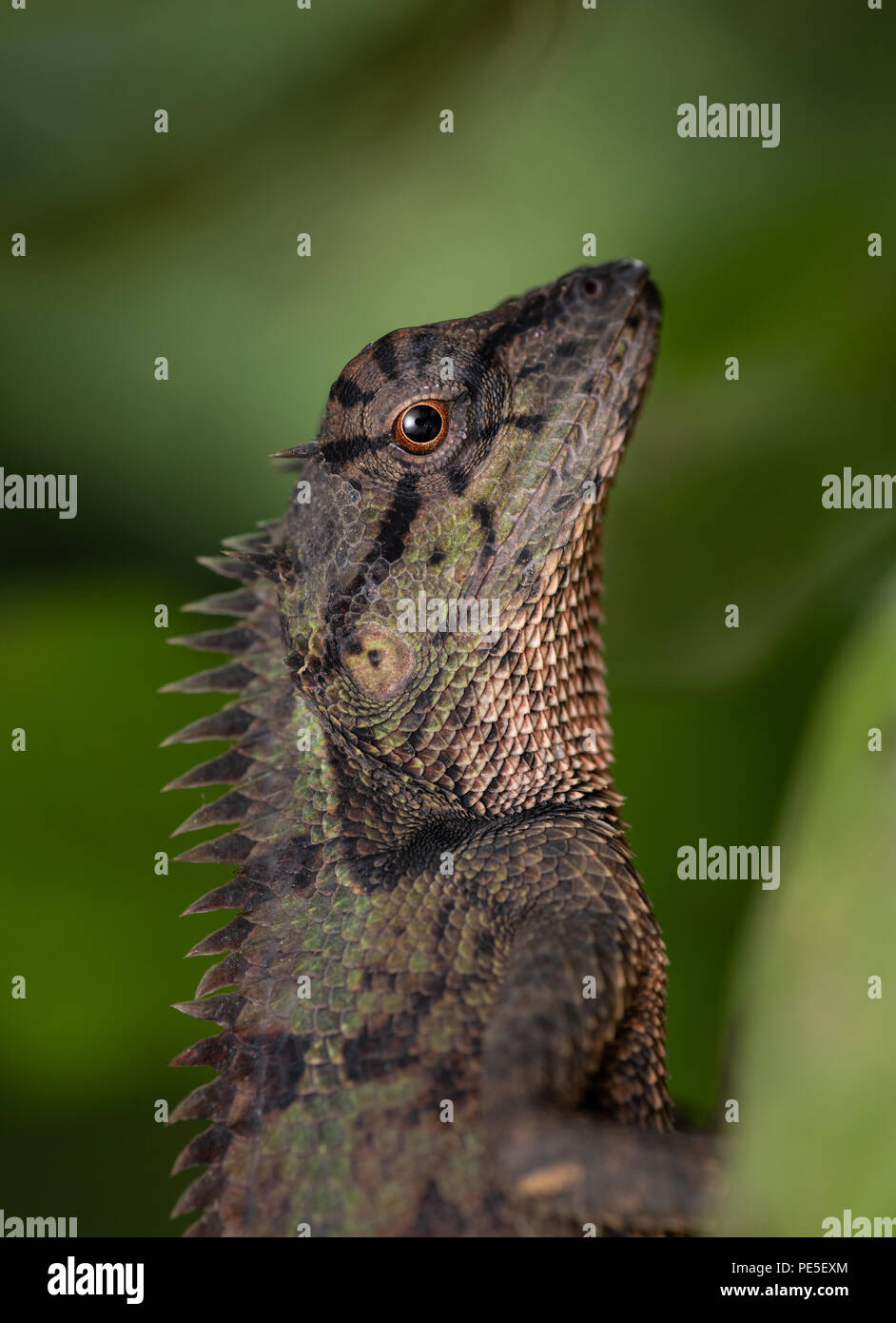 Calotes emma, commonly known as Emma Gray's forest lizard, is a species of lizard in the family Agamidae. - Stock Image
