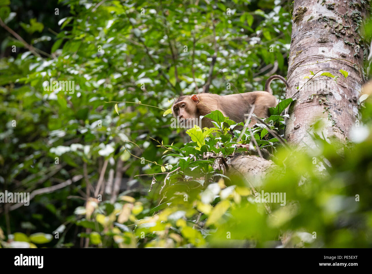 The southern pig-tailed macaque (Macaca nemestrina), also known as the Sundaland pigtail macaque and Sunda pig-tailed macaque. - Stock Image