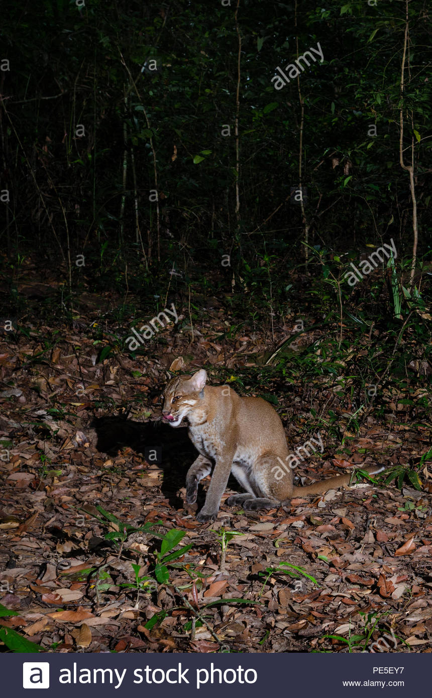 The Asian golden cat (Catopuma temminckii, syn. Pardofelis temminckii), also called the Asiatic golden cat and Temminck's cat. - Stock Image
