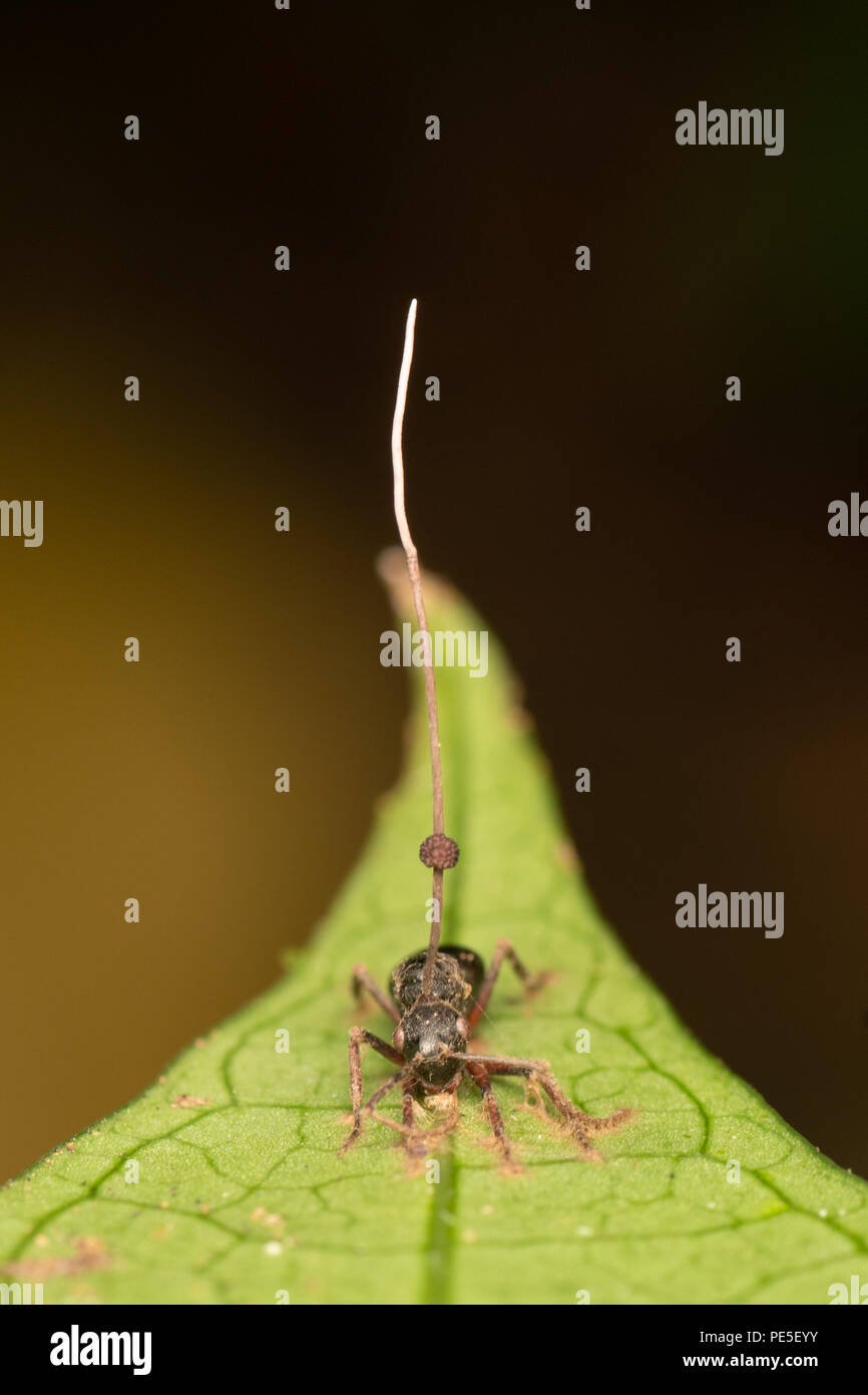 Ophiocordyceps unilateralis is an entomopathogen, or insect-pathogenising fungus found predominantly in tropical forest ecosystems. O. unilateralis. - Stock Image