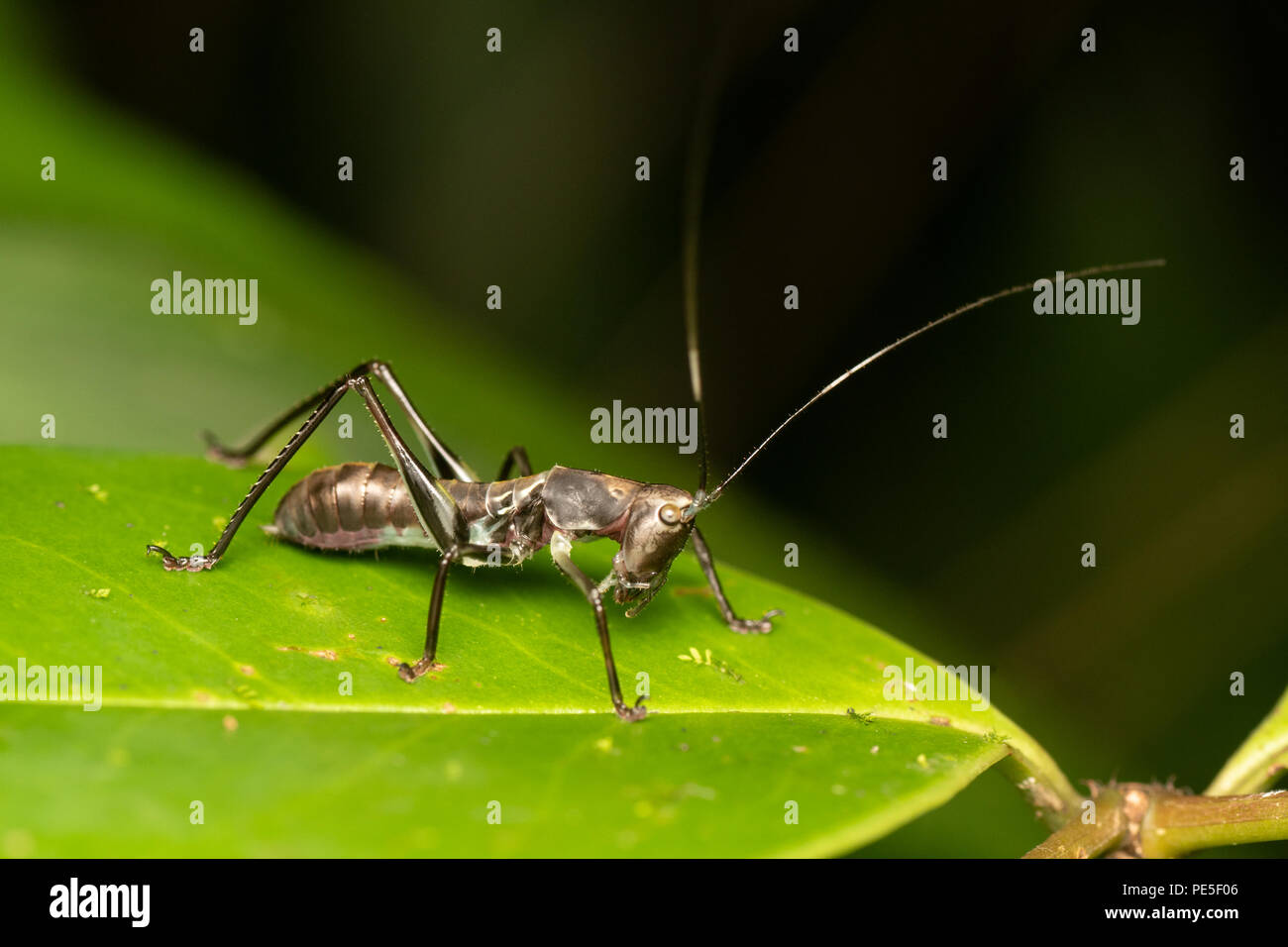 A Phaneropterinae nymph mimicking an ant for protection - its mimicry includes visual and well as motion to mimic an ant. - Stock Image