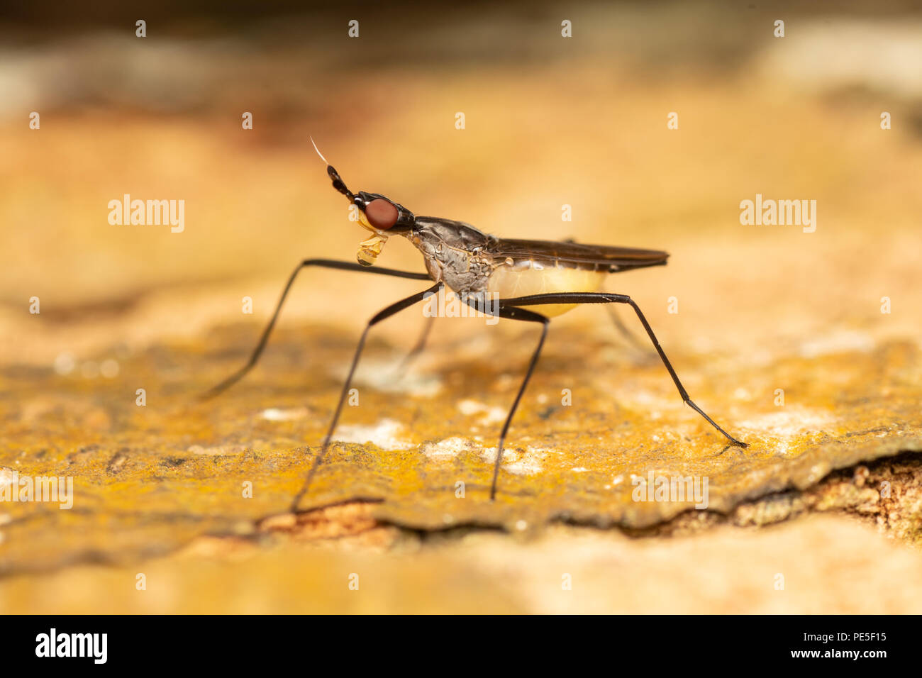 Neriidae is a family of true flies (Diptera) commonly known as banana stalk flies or stilt-legged flies. Stock Photo