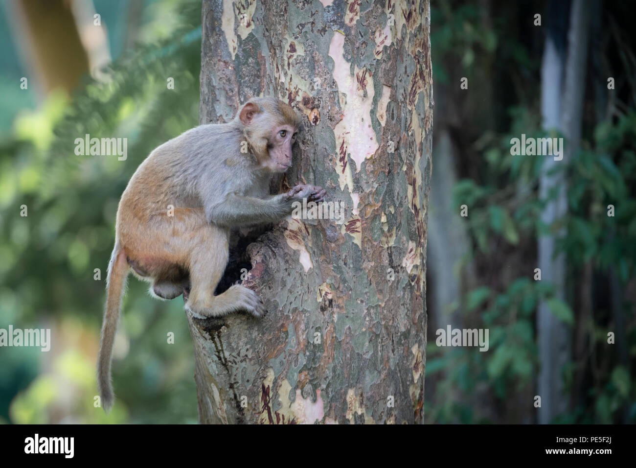 The rhesus macaque (Macaca mulatta) is one of the best-known species of Old World monkeys. It is listed as Least Concern in the IUCN Red List - Stock Image