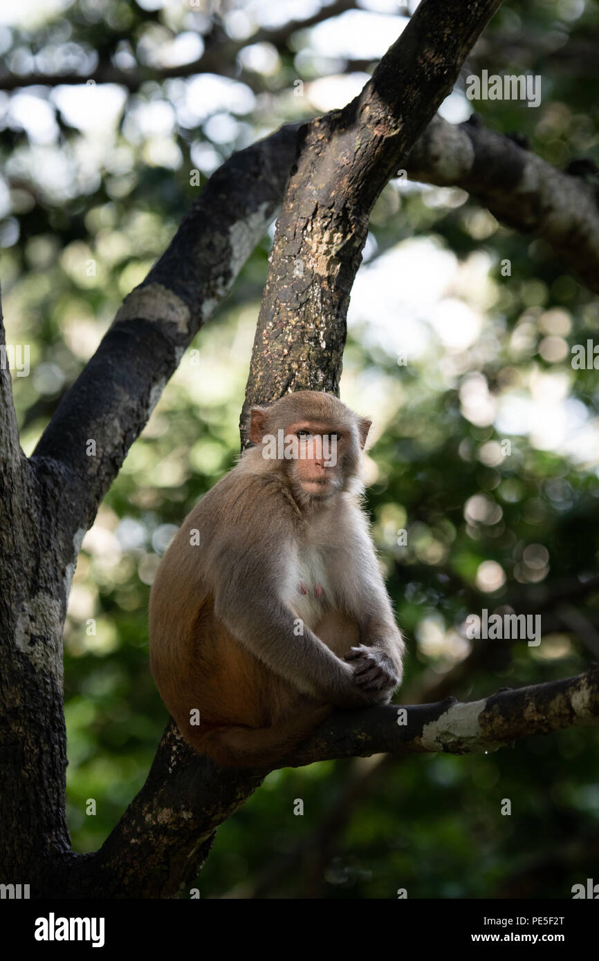 The rhesus macaque (Macaca mulatta) is one of the best-known species of Old World monkeys. It is listed as Least Concern in the IUCN Red List of Threa - Stock Image
