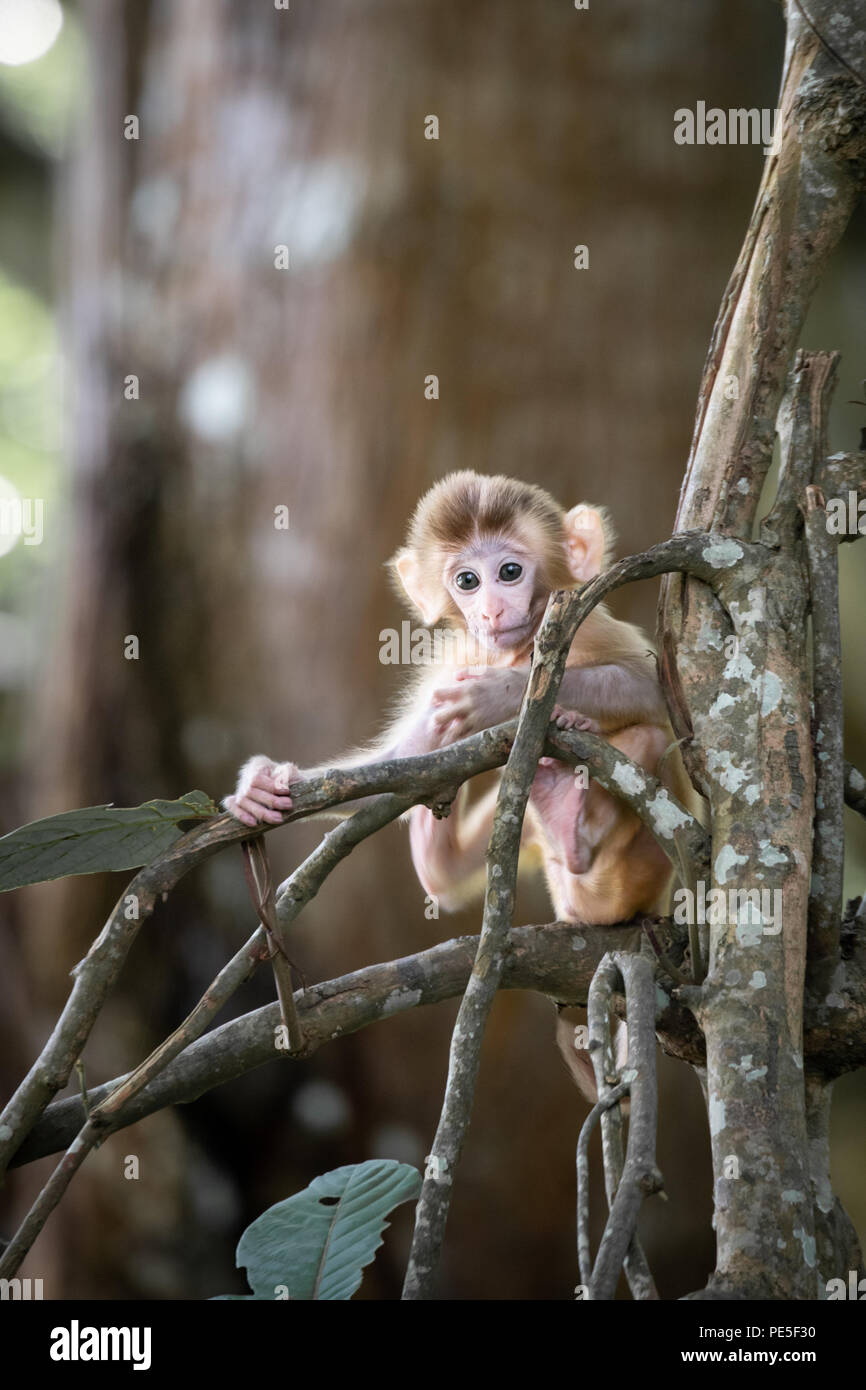 The rhesus macaque (Macaca mulatta) is one of the best-known species of Old World monkeys. It is listed as Least Concern in the IUCN Red List. - Stock Image