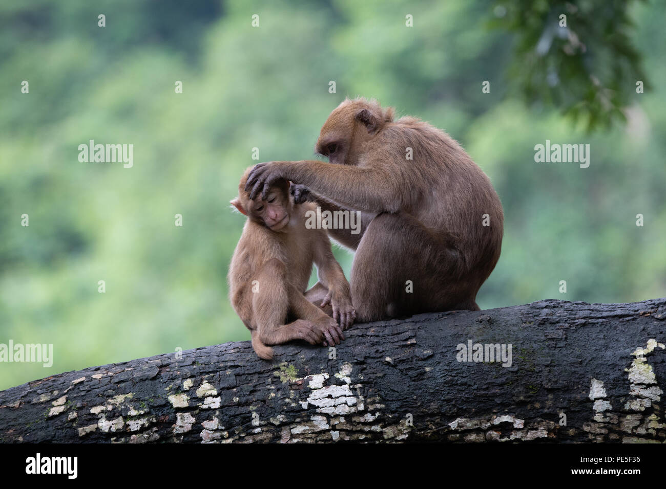 The Assam macaque (Macaca assamensis) is a macaque of the Old World monkey family native to South and Southeast Asia. - Stock Image