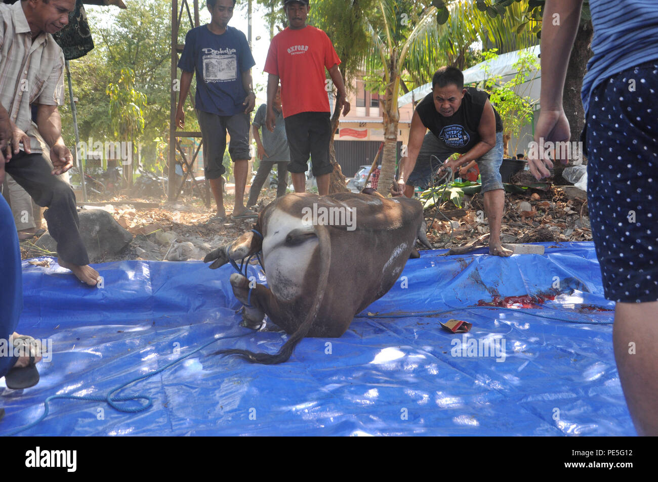 Indonesian moslems move sacrificial cow after it was slaughtered. - Stock Image