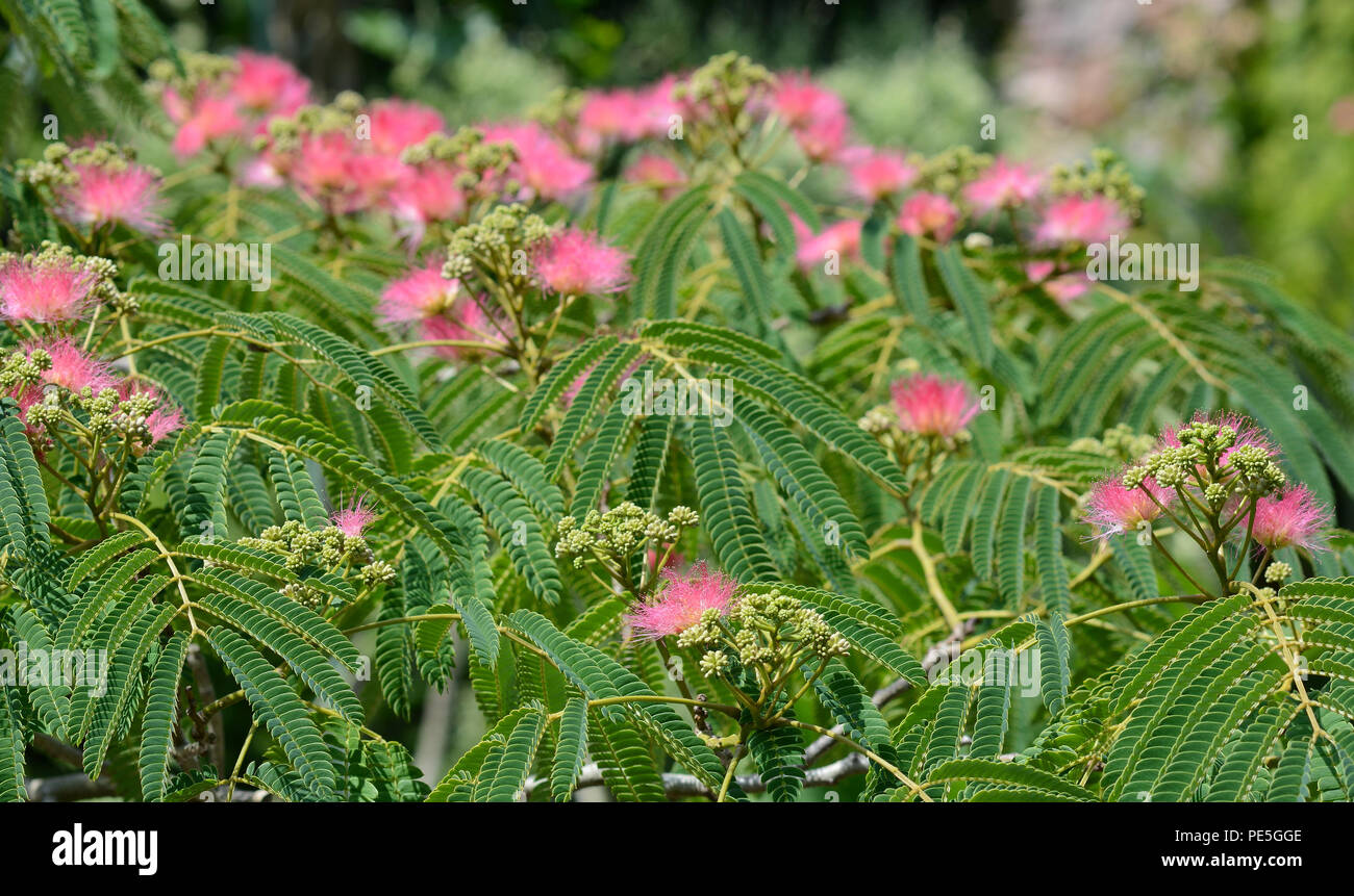 Silk Tree Mimosa In Bloom With Pink Shaving Brush Flowers Persian
