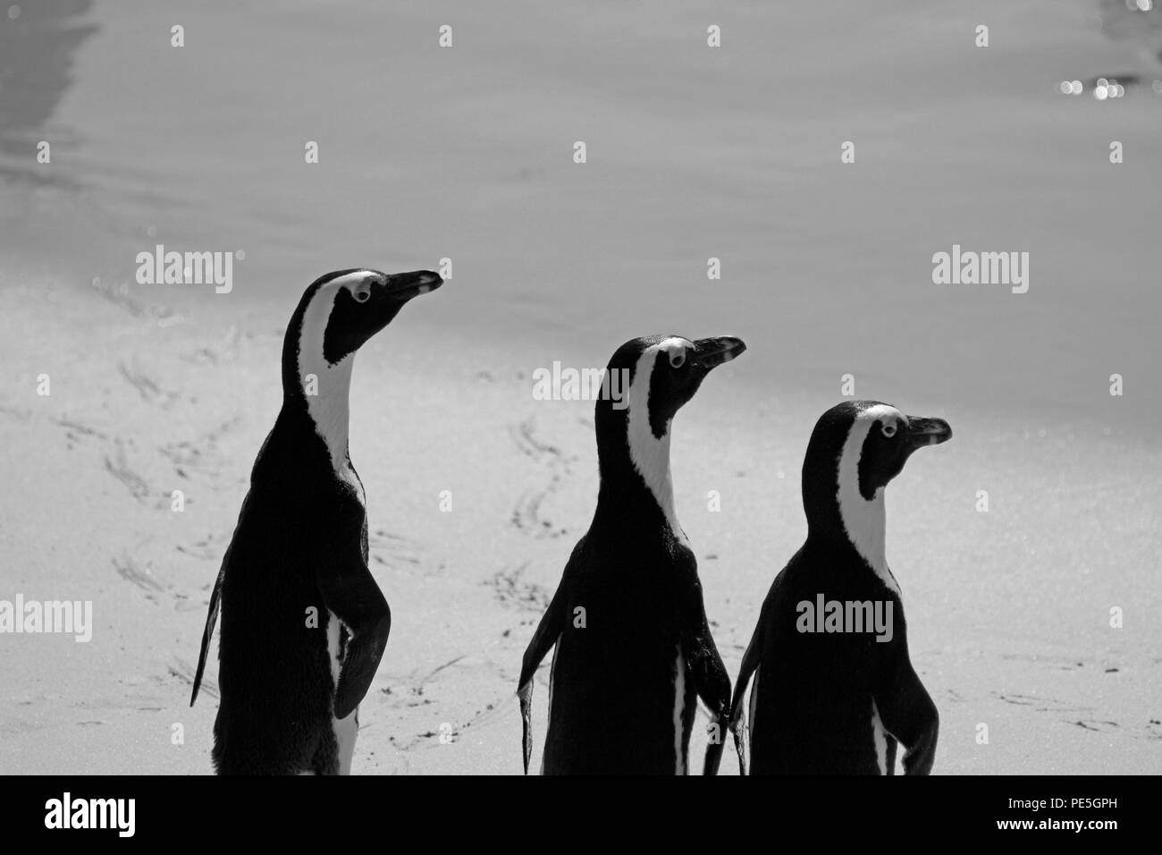 African penguins (Spheniscus demersus) at Boulders Beach Penguin Colony, Simon's Town, Cape Town,South Africa.(B&W photo) - Stock Image