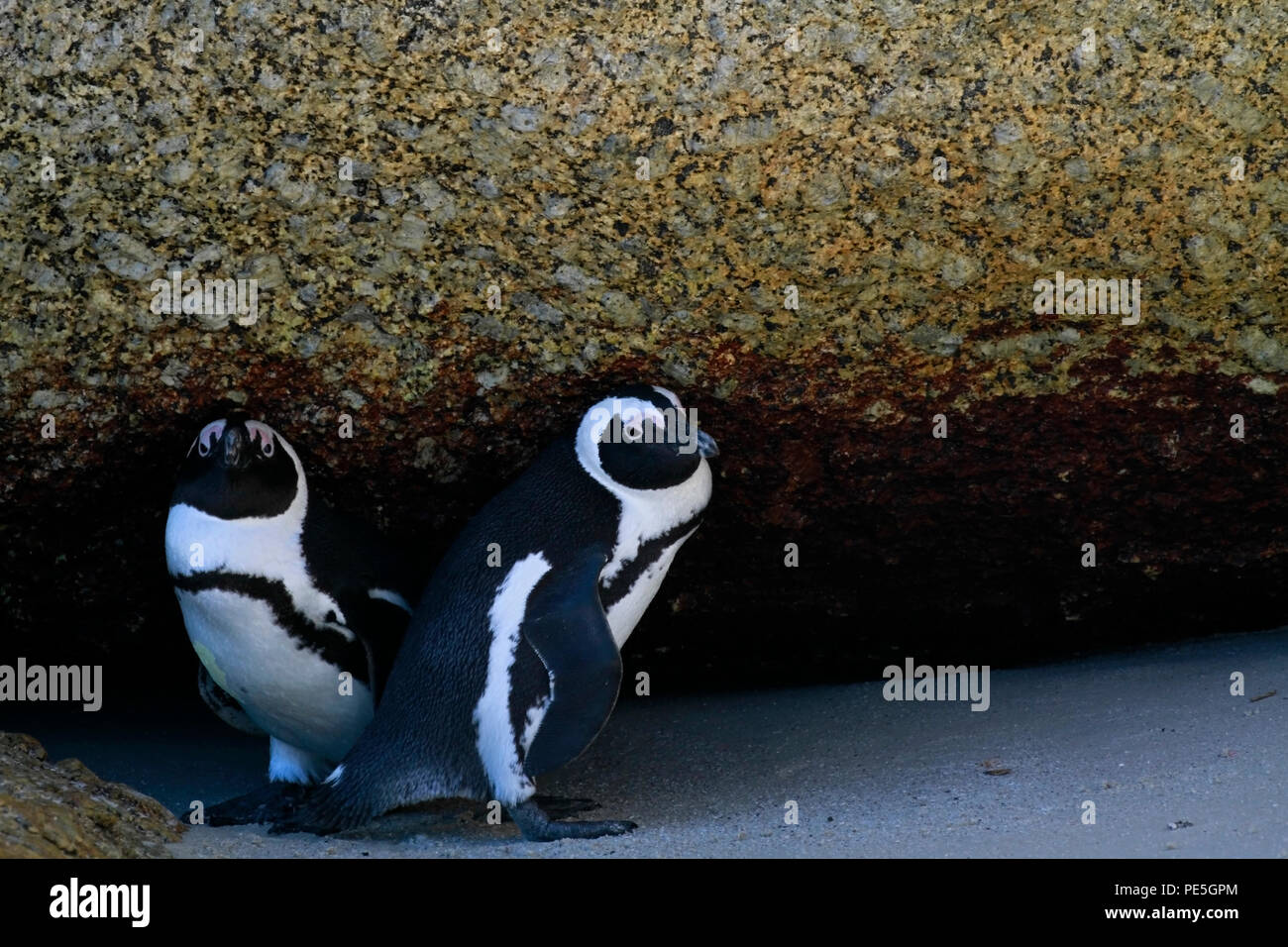 African penguins (Spheniscus demersus) at Boulders Beach Penguin Colony, Simon's Town, Cape Town,South Africa. - Stock Image