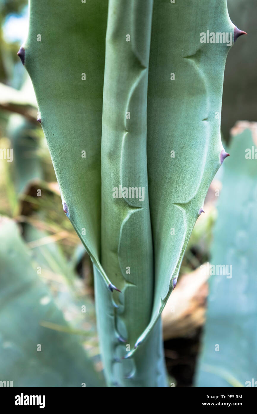 Agave plant close-up - Stock Image