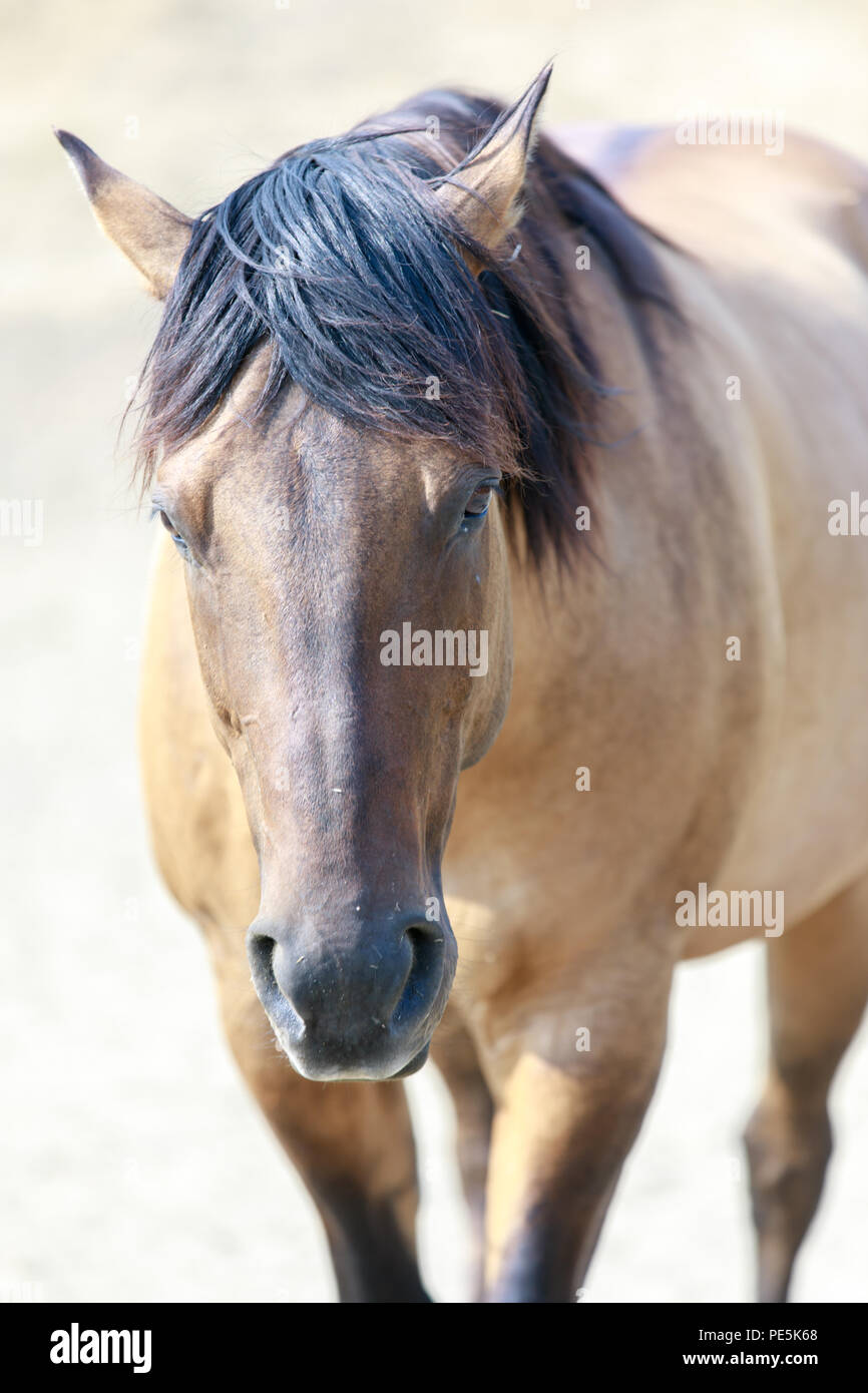 Buckskin Horse High Resolution Stock Photography And Images Alamy