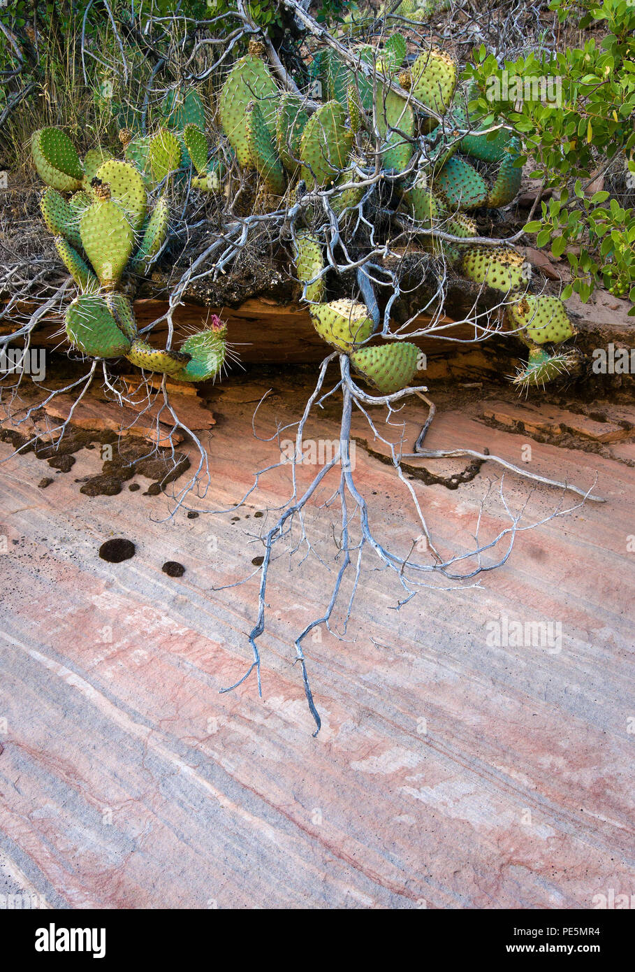 Cactus and tree branches against pink sandstone, Zion National Park, Utah, the United States - Stock Image