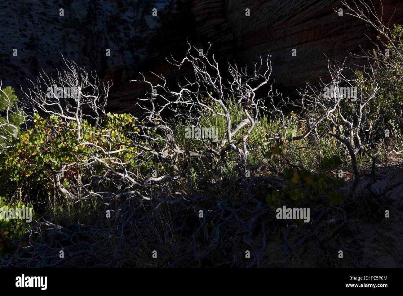 Morning light hitting desert bushes in Zion National Park, Utah, United States - Stock Image
