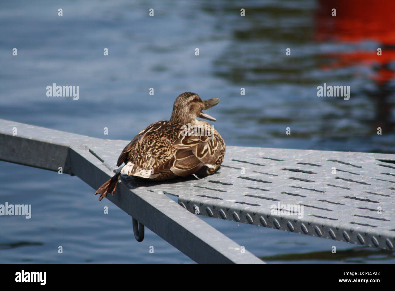 A mighty duck sitting next to the harbor and enjoying her life - Stock Image