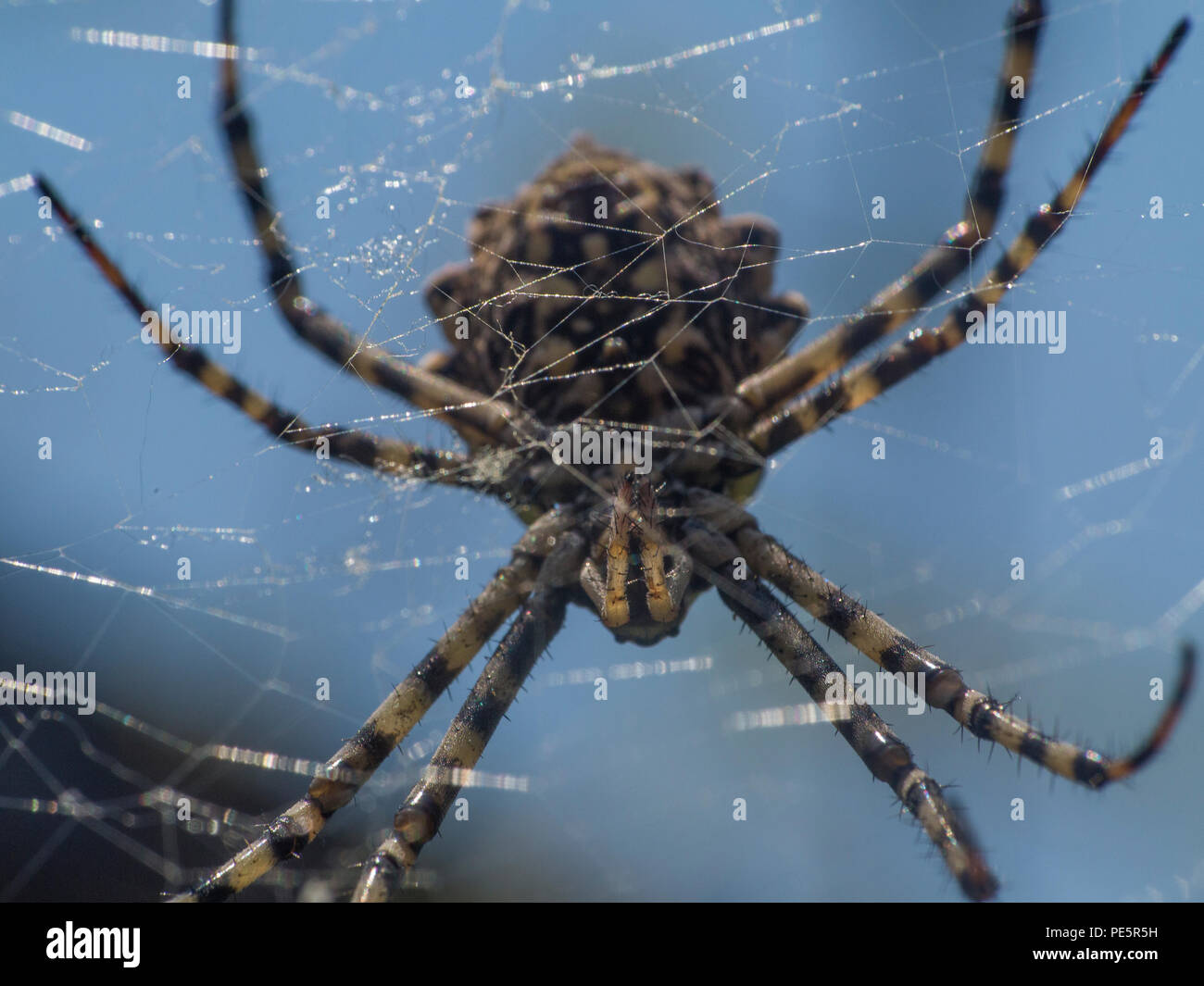 Argiope lobata is a species of spider belonging to the family Araneidae - Stock Image
