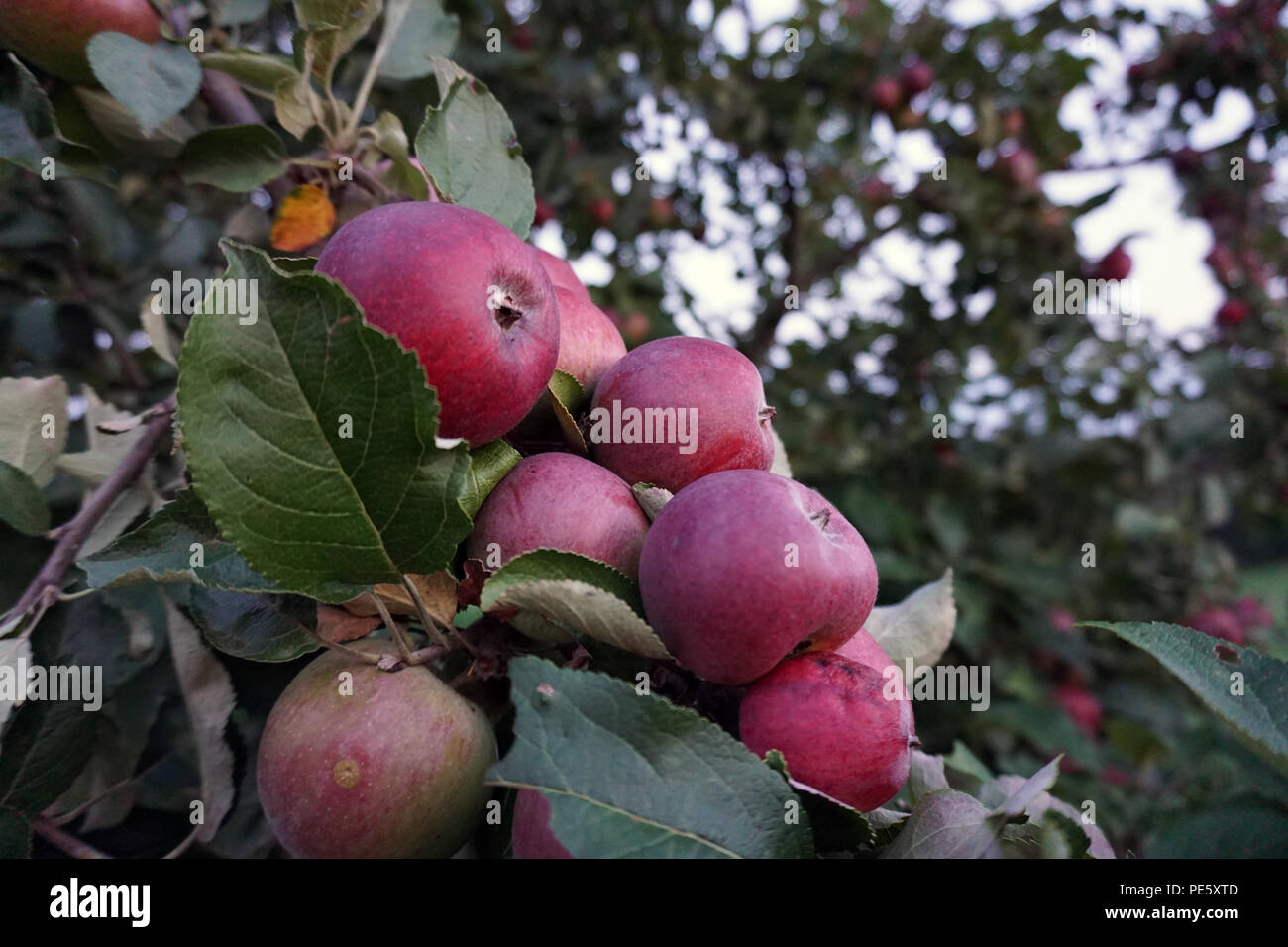 red apples in tree Stock Photo